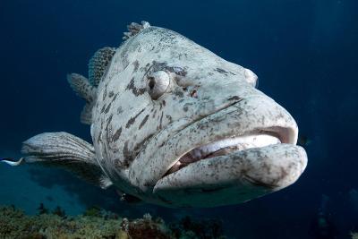 Potato Cod (Epinephelus Tuku) (Potato Grouper) (Potato Bass)-Louise Murray-Photographic Print
