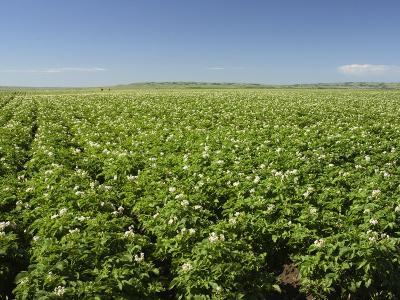 Potato, Solanum Tuberosum, Field in Bloom, North Dakota, USA-Brad Mogen-Photographic Print