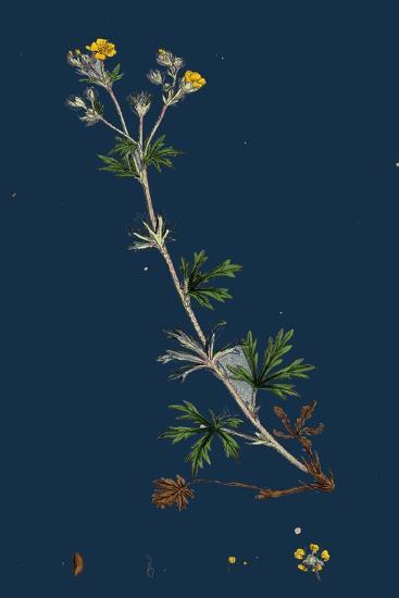 Potentilla Anserina; Silver-Weed--Giclee Print