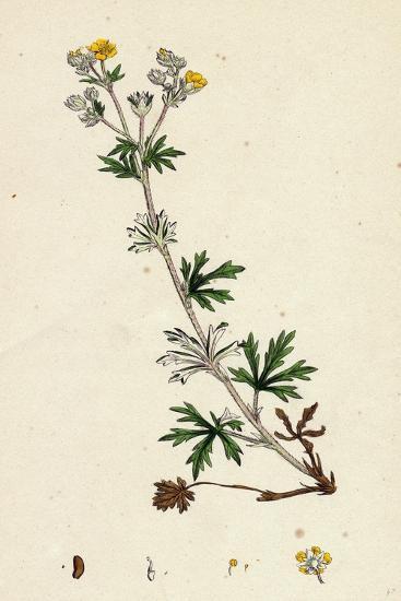 Potentilla Argentea Hoary Cinquefoil--Giclee Print