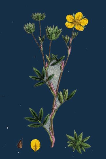 Potentilla Reptans; Creeping Cinquefoil--Giclee Print