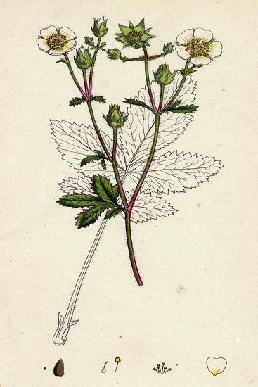 Potentilla Rupestris Strawberry-Flowered Cinquefoil--Giclee Print