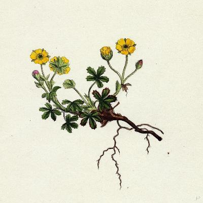 Potentilla Verna Spring Cinquefoil--Giclee Print