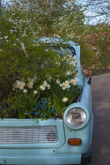 Potted Daffodils in Antique Turquoise Car-Anna Miller-Photographic Print