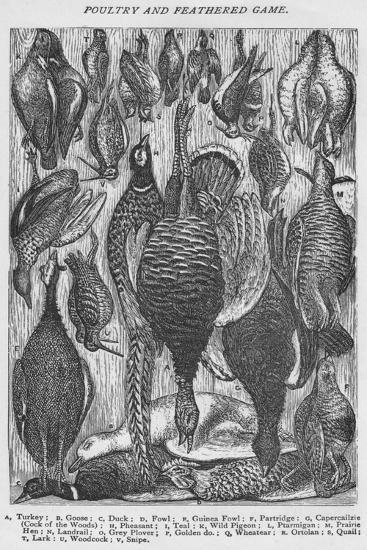 'Poultry and Feathered Game', 1907-Unknown-Giclee Print