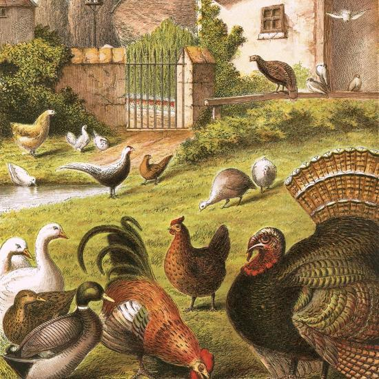Poultry at a Farm-English-Giclee Print