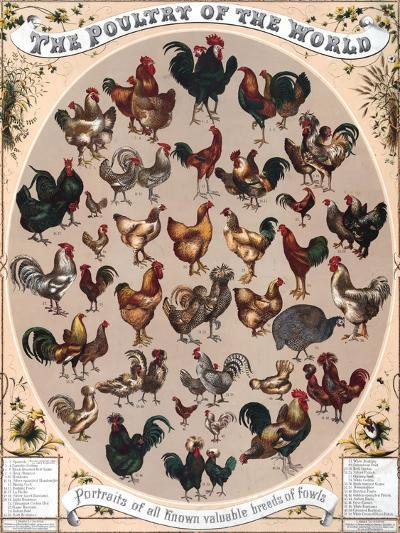 Poultry of the World Poster, 1868--Giclee Print