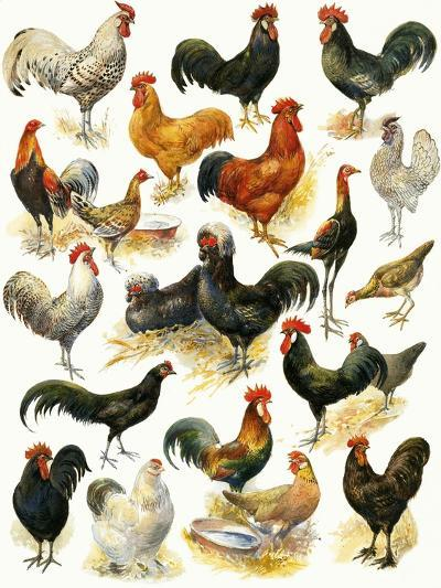 Poultry-English School-Giclee Print