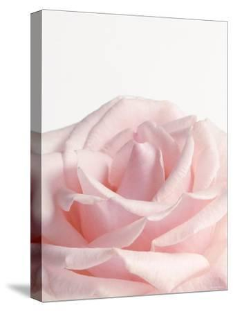 Powder Pink Rose I