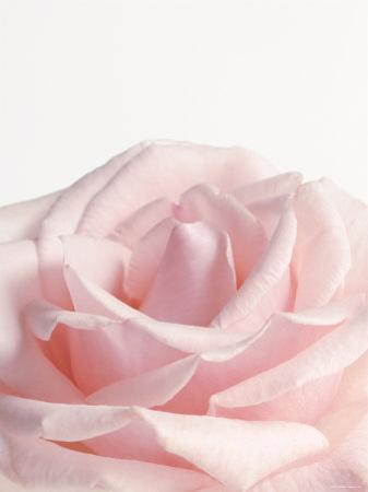 Powder Pink Rose I