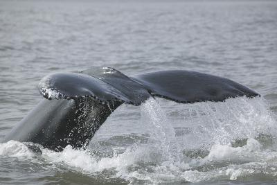 Powerful Tail of a Humpback Whale-DLILLC-Photographic Print