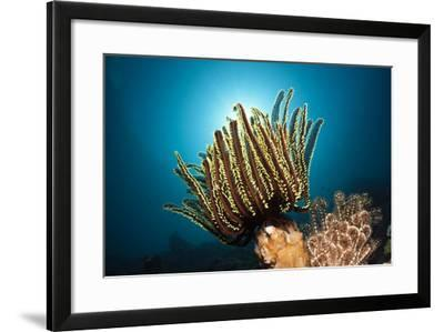 Prachthaarstern in the Reef, Oxycomanthus Bennetti, Ambon, the Moluccas, Indonesia-Reinhard Dirscherl-Framed Photographic Print