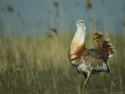 Prairie Chicken Strutting Through a Field of Tall Grass-Klaus Nigge-Photographic Print