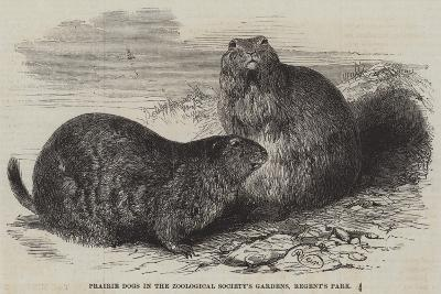 Prairie Dogs in the Zoological Society's Gardens, Regent's Park-Harrison William Weir-Giclee Print