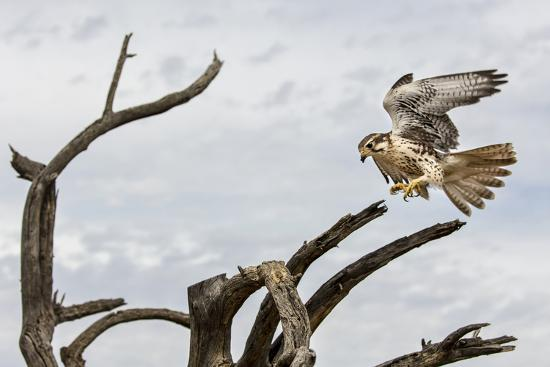Prairie Falcon, Sonora Desert, Tucson, Arizona, Usa-Chuck Haney-Photographic Print