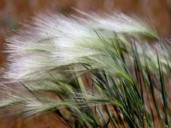 Prairie Grass-Raymond Gehman-Photographic Print