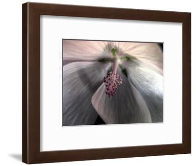 Prairie mallow (Sidalcea)-Angela Marsh-Framed Photographic Print