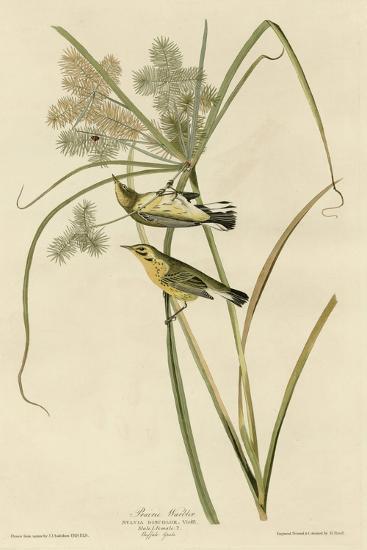 Prairie Warbler--Giclee Print