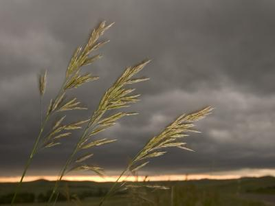Prairie Wedge Grass Stands Out Against Thunderclouds in Grasslands-Phil Schermeister-Photographic Print