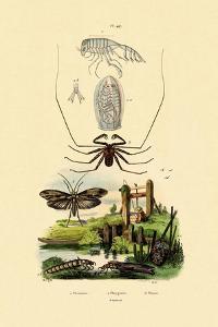 Pram Bug Amphipod, 1833-39