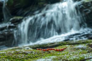A Bibron's Coral Snake, Calliophis Bibroni, Slithers Along Rocks by a River by Prasenjeet Yadav