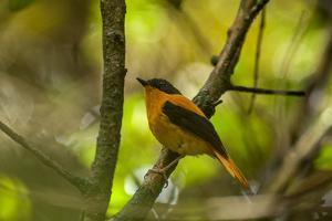 A Black and Orange Flycatcher, Ficedula Nigrorufa, Perches on a Branch by Prasenjeet Yadav
