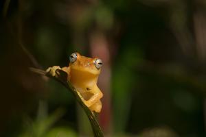 A Blue Eyed Frog, Raorchestes Luteolus, Sits on a Leaf by Prasenjeet Yadav