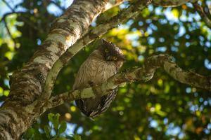 A Brown Fish Owl, Bubo Zeylonensis, Perches on a Tree Branch by Prasenjeet Yadav