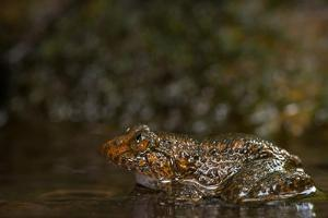 A Coorg Night Frog, Nyctibatrachus Sanctipalustris, Sits in a Stream by Prasenjeet Yadav