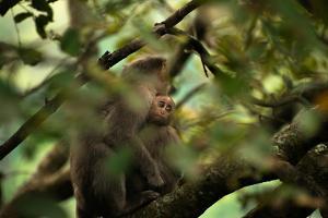 A Juvenile Bonnet Macaque, Macaca Radiata, Holding onto its Mother by Prasenjeet Yadav