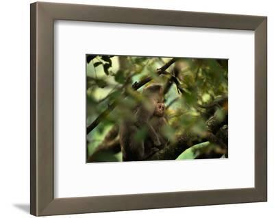 A Juvenile Bonnet Macaque, Macaca Radiata, Holding onto its Mother