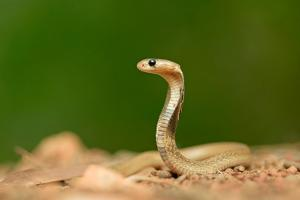 A Juvenile Spectacled Cobra, Naja Naja, Stands at Attention by Prasenjeet Yadav