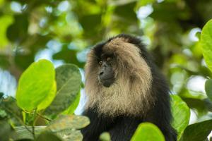 A Lion Tailed Macaque, Macaca Silenus, Sits on a Tree Top by Prasenjeet Yadav