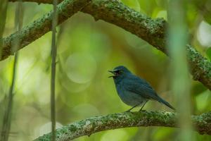 A Sholicola Flycatcher Bird Perches on a Branch by Prasenjeet Yadav