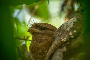 A Sri Lankan Frogmouth, Batrachostomus Moniliger, Hides in the Leaves by Prasenjeet Yadav