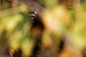 A Tiger, Panthera Tigris Tigris, Hiding in the Bush in Dry Deciduous Forest by Prasenjeet Yadav