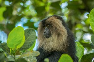 An Endangered Lion Tailed Macaque, Macaca Silenus, Foraging on a Tree Top by Prasenjeet Yadav