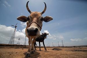 Free ranging cattle graze near wind turbines. by Prasenjeet Yadav