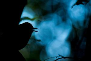 Silhouette of a White Bellied Blue Robin Singing During a Courtship Ritual by Prasenjeet Yadav