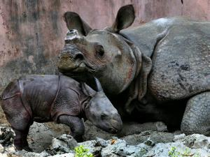 Hartali, a Rhinoceros at the Patna Zoo, is Seen with Her New Baby in Patna, India, January 24, 2007 by Prashant Ravi