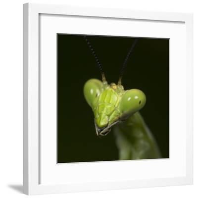 Praying Mantis Face-Papilio-Framed Photographic Print
