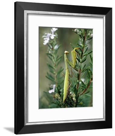 Praying Mantis (Mantis Religiosa) Female, Italy-Konrad Wothe-Framed Photographic Print