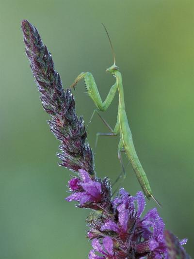 Praying Mantis on Purple Loosestrife-Adam Jones-Photographic Print