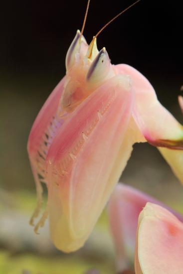 Praying Mantis, Orchid Mantis, Attack Position, Portrait, Tentacles-Harald Kroiss-Photographic Print