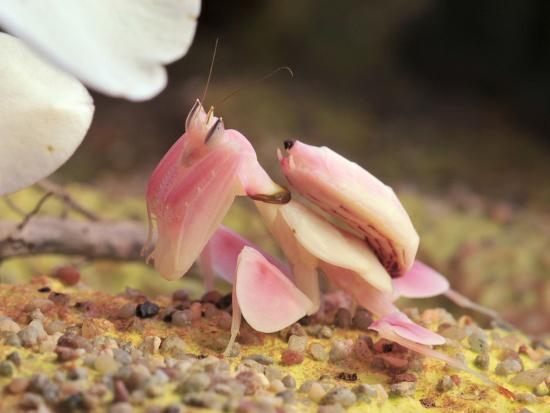 Praying Mantis, Orchid Mantis, Attack Position-Harald Kroiss-Photographic Print