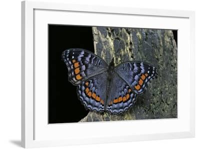 Precis Octavia (Gaudy Commodore) - Winter Form-Paul Starosta-Framed Photographic Print