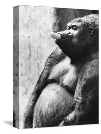 Pregnant Mountain Gorilla