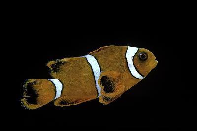 Premnas Biaculeatus (Maroon Clownfish, Spine-Cheeked Clownfish)-Paul Starosta-Photographic Print