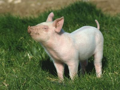 Pretty Little Piglet Posing for Camera-Michael Black-Photographic Print
