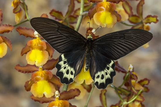 Priapus Batwing Swallowtail Butterfly, Atrophaneura Priapus-Darrell Gulin-Photographic Print